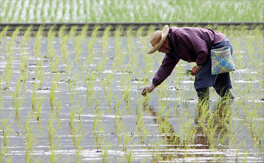 Third rice crop may lead drought and salinity to worsen